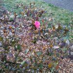 Gite de Kergoniou.Fleurs d'hiver.