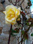 Rose jaune à Kergoniou